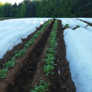 Manta térmica agrícola en lechugas