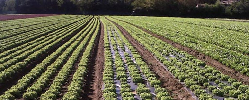Cultivo con plástico de acolchado biodegradable